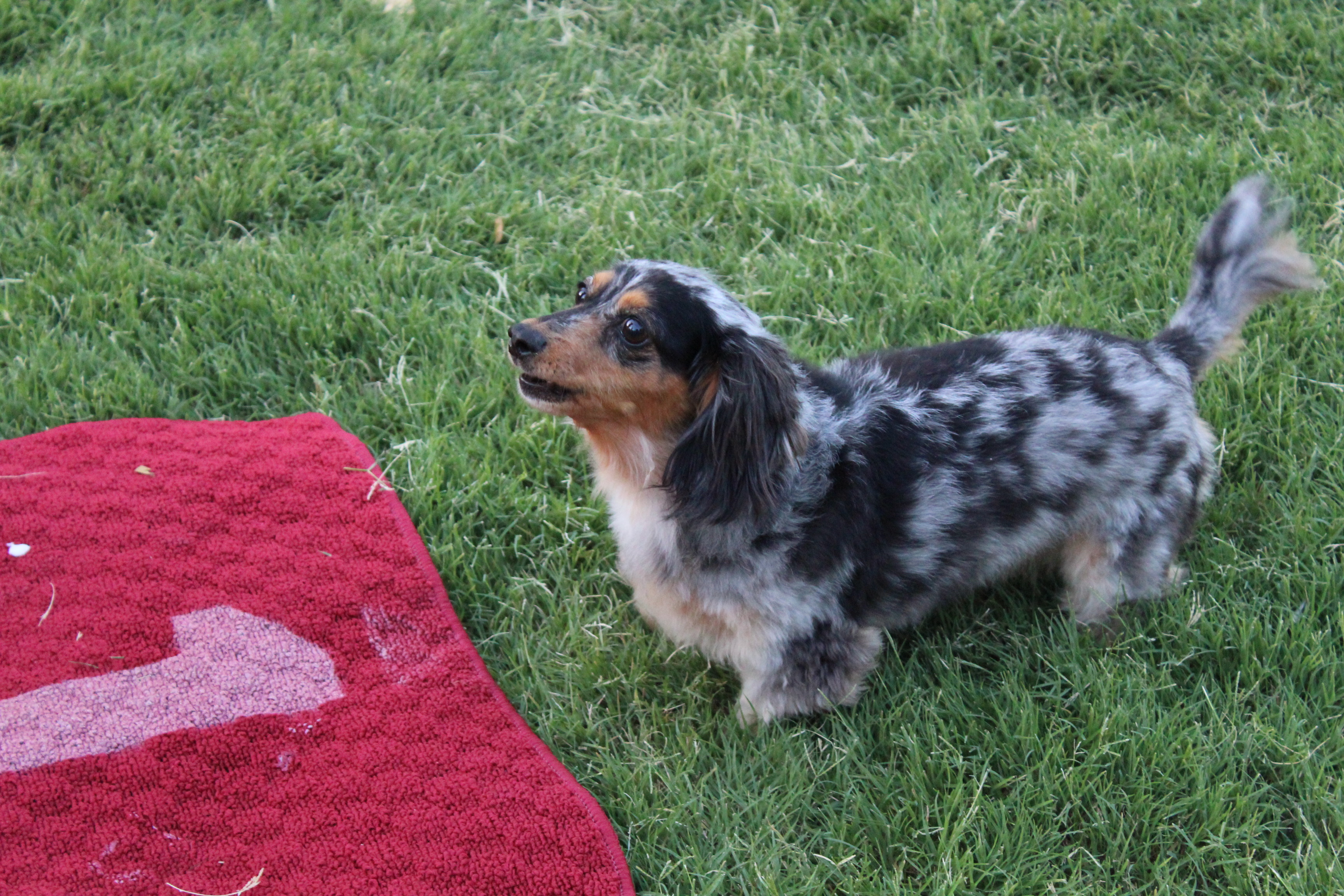 Dachshund Dash Dog 2 2018