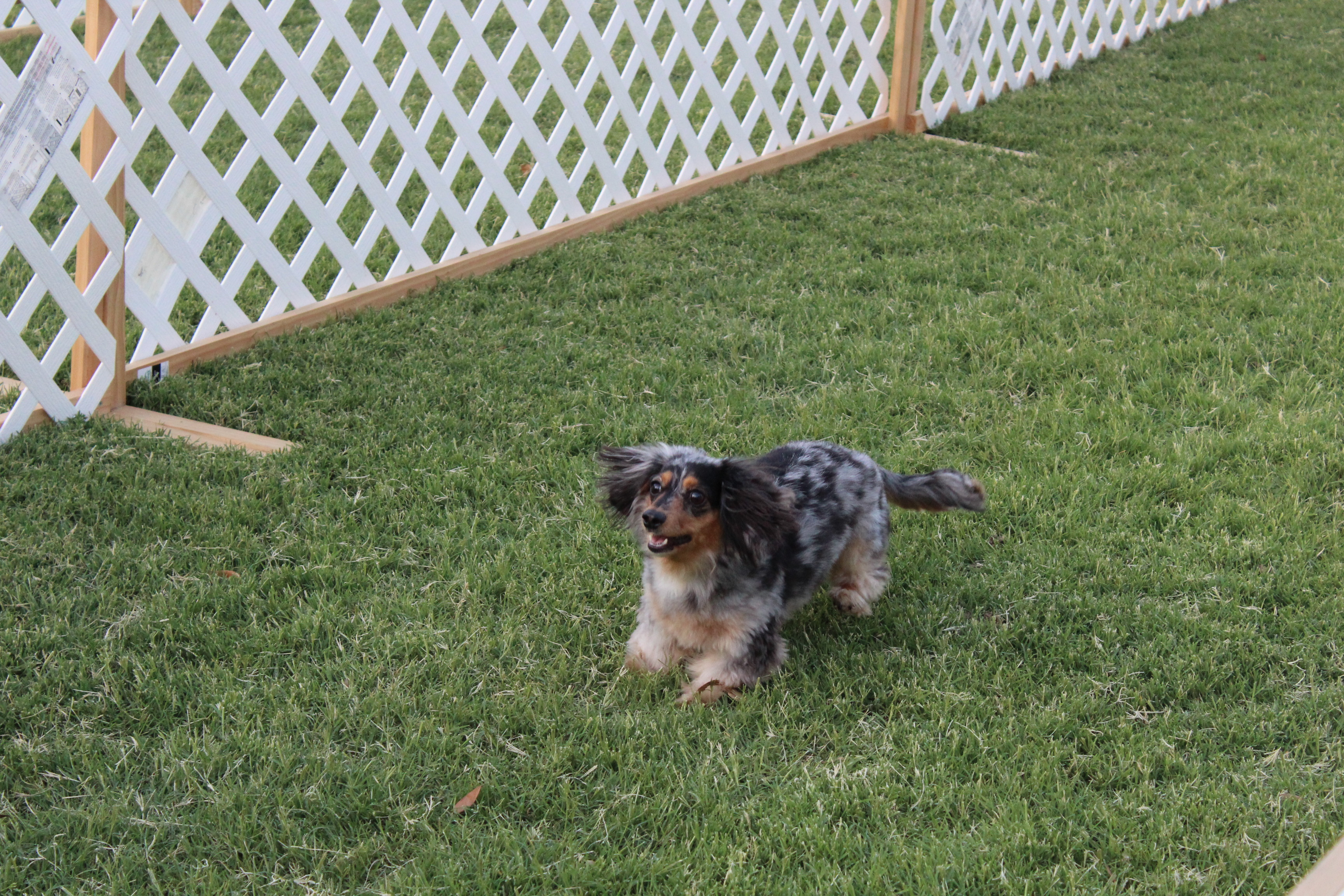 Dachshund Dash Dog 2018
